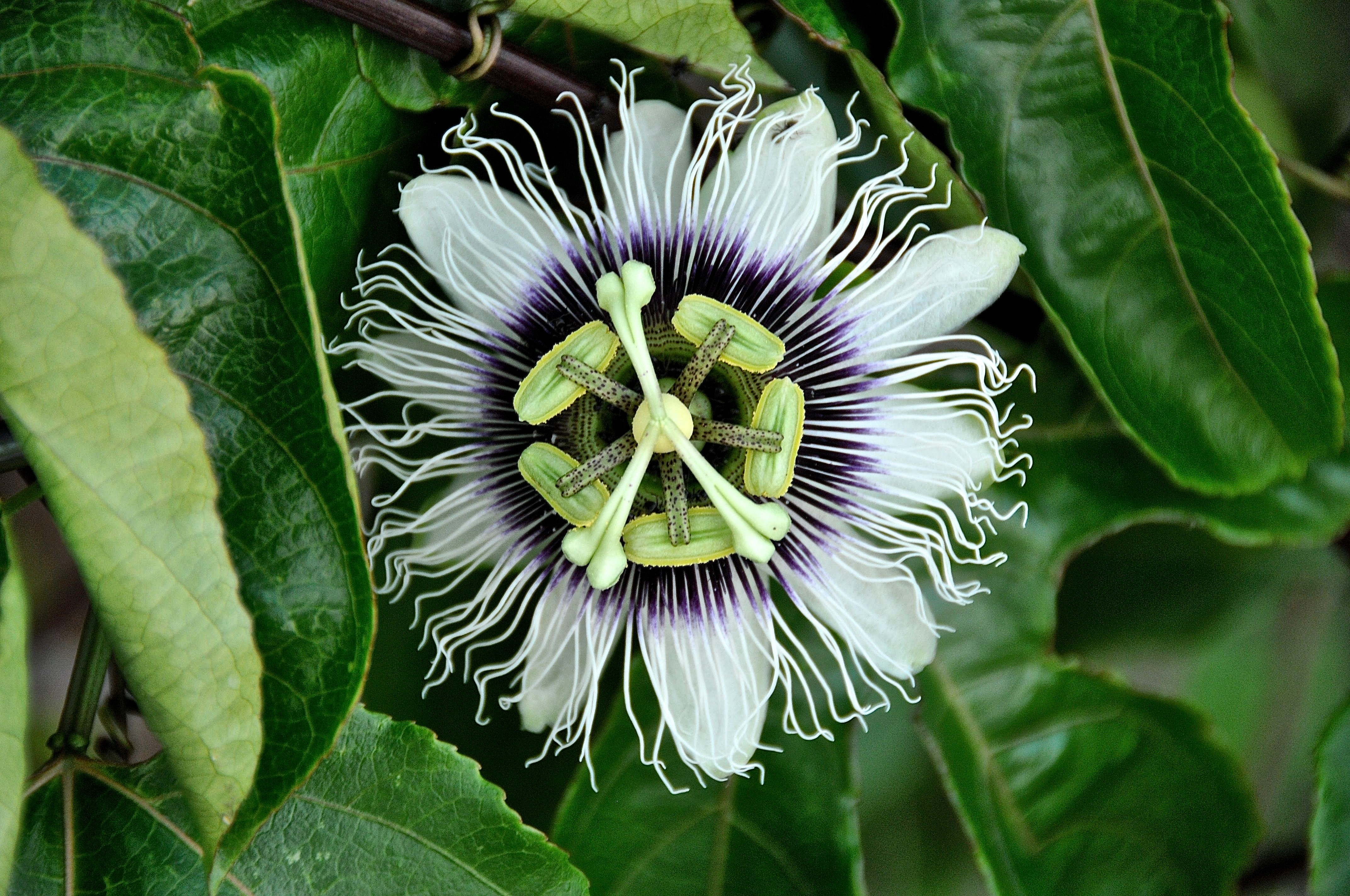Passion Flower Variety